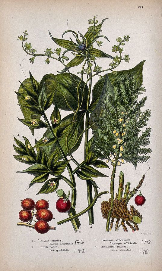 four_flowering_and_fruiting_plants_black_bryony_herb_paris_wellcome_v0044153